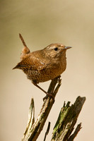 WINTER WREN 13-05-0163164