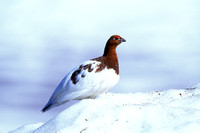 WILLOW PTARMIGAN 00-12
