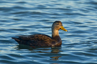 AM BLACK DUCK 14-01-0970661
