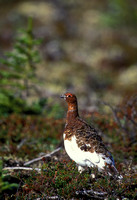 WILLOW PTARMIGAN 00-08