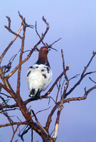 WILLOW PTARMIGAN 00-10