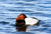 CANVASBACK 08-03-0630004