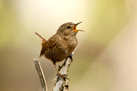 WINTER WREN 13-05-0163114