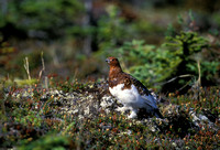 WILLOW PTARMIGAN 00-04