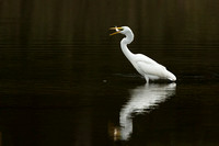 GREAT EGRET 15-09-27446