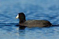AMERICAN COOT 13-03-2060763