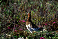 WILLOW PTARMIGAN 00-01