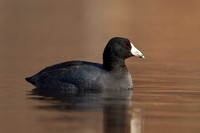 AMERICAN COOT 13-03-0460296