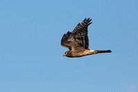 NORTHERN HARRIER 14-11-0378542
