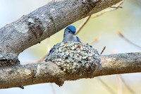 BG GNATCATCHER 13-04-2762886