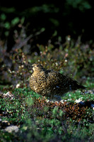 WILLOW PTARMIGAN 00-14