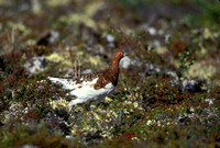 WILLOW PTARMIGAN 00-05