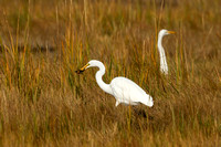 GREAT EGRET 15-10-15621