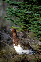 WILLOW PTARMIGAN 00-03
