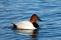 CANVASBACK 12-01-0944604