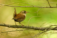 WINTER WREN 13-06-06346