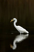 GREAT EGRET 15-09-27447