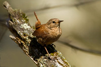 WINTER WREN 13-05-0163100