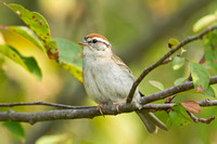 CHIPPING SPARROW 10-06-2825860