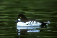 COMMON GOLDENEYE 00-03