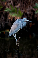 TRICOLORED HERON 09-04-251980