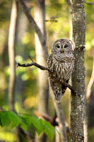 BARRED OWL 17-05-162186
