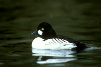 COMMON GOLDENEYE 00-01