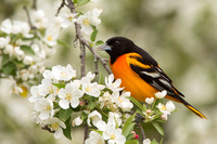 BALTIMORE ORIOLE 14-05-1474549