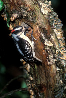 DOWNY WOODPECKER 00-22