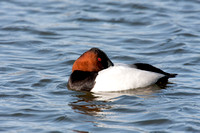 CANVASBACK 08-03-0630033