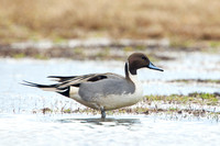 NORTHERN PINTAIL 13-12-2469686