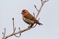 PURPLE FINCH 10-10-3028699