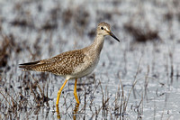 LESSER YELLOWLEGS 11-10-0440992