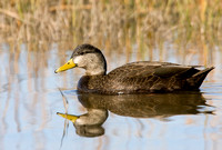 AM BLACK DUCK 08-11-1223034