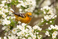 BALTIMORE ORIOLE 14-05-1474542