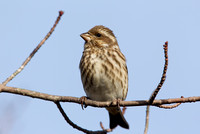 PURPLE FINCH 10-10-3028687
