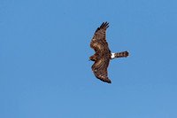 NORTHERN HARRIER 14-11-2178980