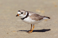 PIPING PLOVER 10-04-1321210