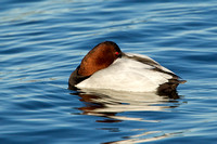 CANVASBACK 12-01-0944624