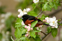 ORCHARD ORIOLE 08-05-1232712
