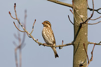 PURPLE FINCH 10-10-3028725