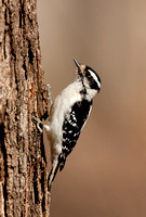 DOWNY WOODPECKER 10-03-0820964