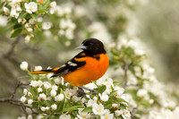 BALTIMORE ORIOLE 14-05-1474561