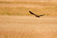 NORTHERN HARRIER 14-11-2178994