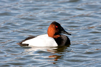 CANVASBACK 08-03-0630030
