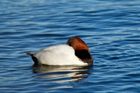 CANVASBACK 12-01-0944602