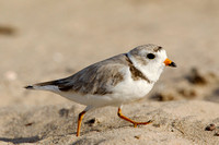 PIPING PLOVER 10-07-0125441
