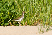 SPOTTED SANDPIPER 12-07-0351752