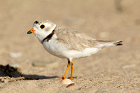 PIPING PLOVER 10-07-0125443