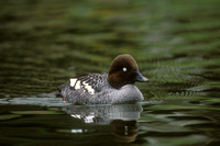 COMMON GOLDENEYE 00-04